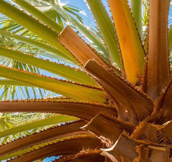 cotton palm tree pruned
