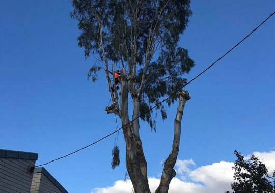 Arborists high up in tree