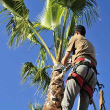 man up palm tree