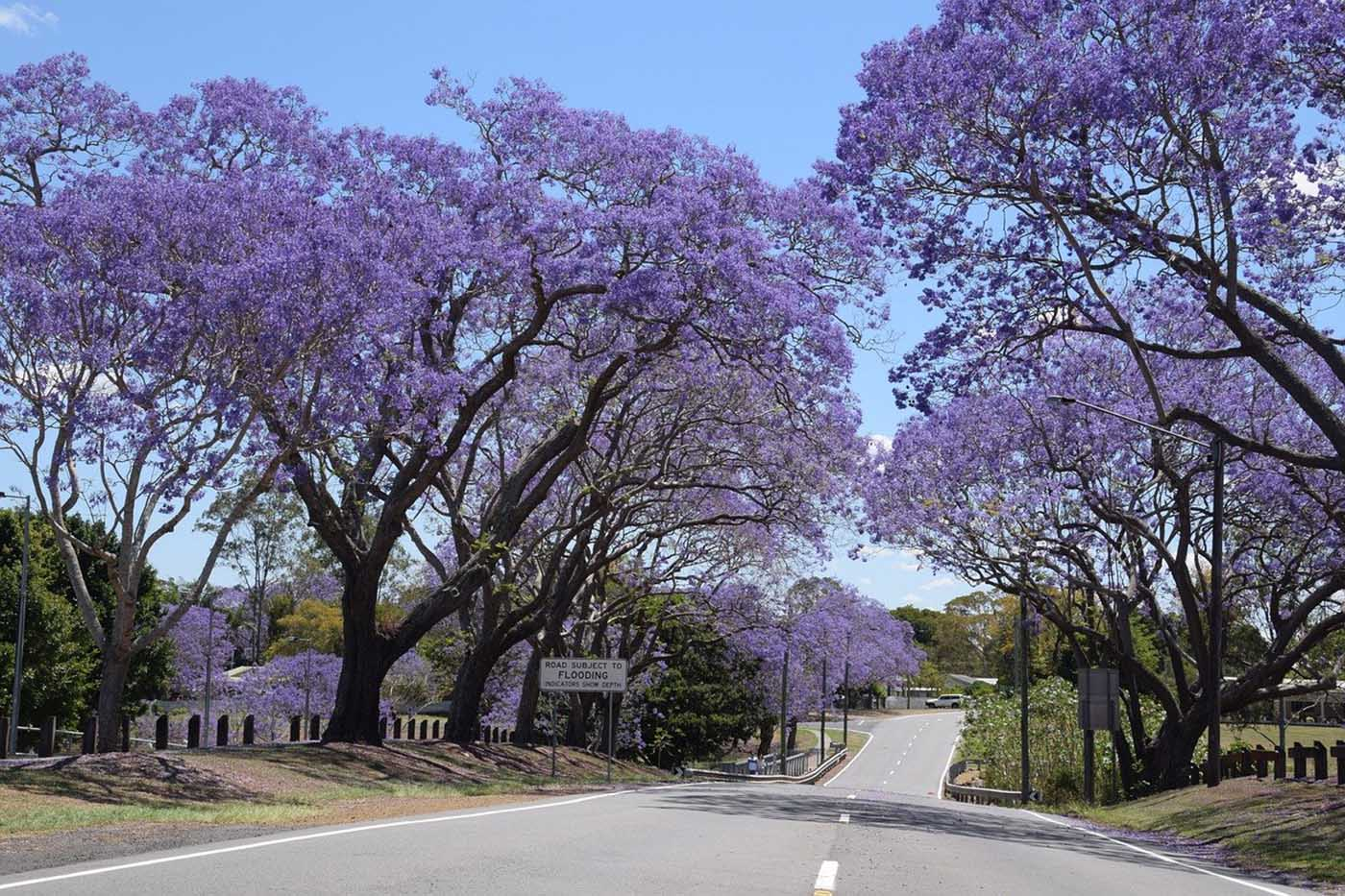 jacaranda trees either side a road